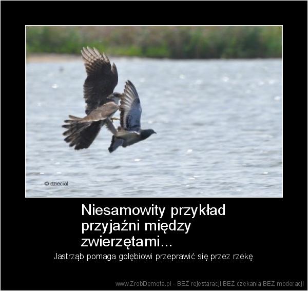 d31af293a84 ZrobDemota.pl - Niesamowity przykład przyjaźni między zwierzętami...  Jastrząb pomaga gołębiowi przeprawić się przez rzekę